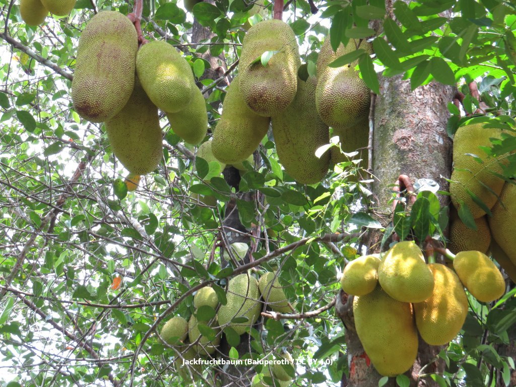 Jack Fruit Baum